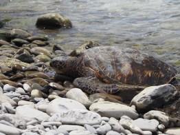 Sea turtle at Honokeana Cove