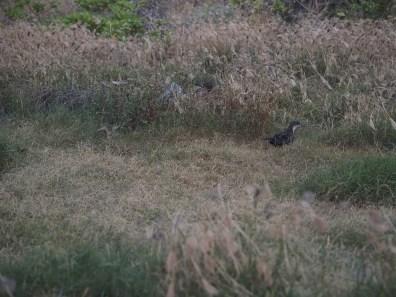 Wedge-tailed shearwater along the Kapalua Coastal Trail