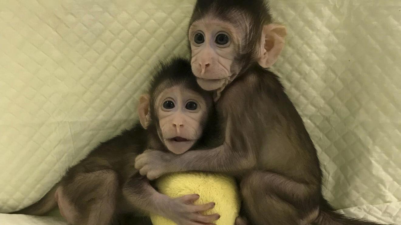 ap18024420937653 - Cientistas chineses clonam os primeiros macacos