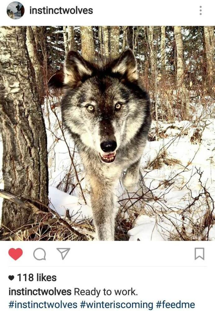 Lobos gigantes devem estar de volta em sétima temporada de Game of Thrones
