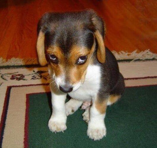 Cachorro com cara de do olhar de coitadinho - Como o seu cãozinho adestra você