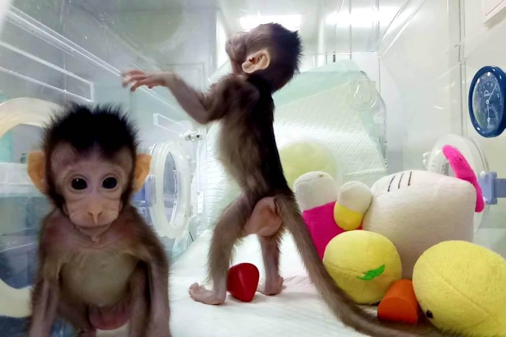 si site clonaramummacaco home 2 - Cientistas chineses clonam os primeiros macacos