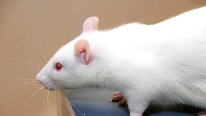 rato branco 1 720x405 - Nanorrobôs são usados com sucesso em tratamento de câncer