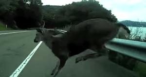 Accidente con la bici contra un ciervo