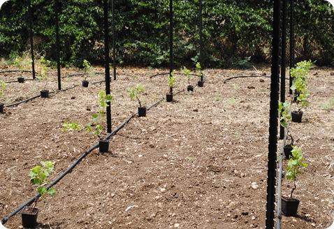 cs planting 031