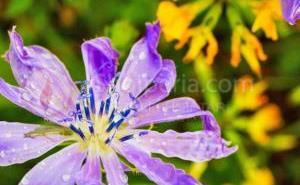 Çikorja e egër, bima magjike shumë e përhapur në Shqipëri që bën mrekullinë për zemrën dhe stomakun (Ja si ta përdorni), por kujdes!
