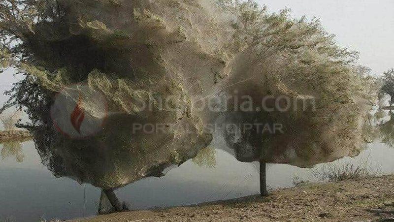 Panik mes qytetarëve, stuhia e merimangave mbulon pemët dhe parqet në këtë shtet