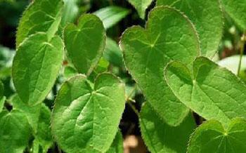 Epimedium brevicornum
