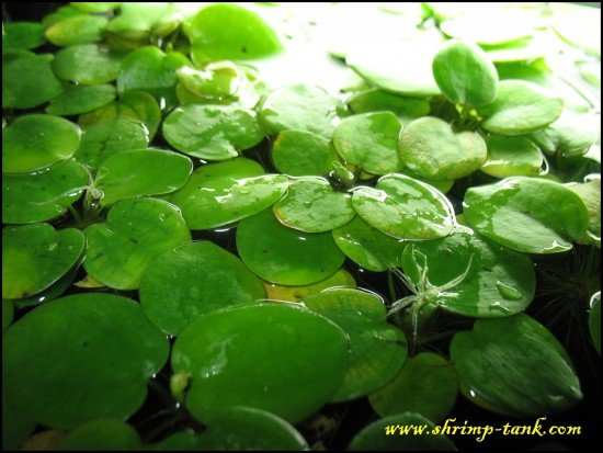 Amazon Frogbit Care