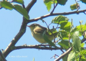 Icterine Warbler (Mim Elliot-Smith)