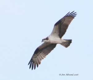 Osprey (Jim Almond)