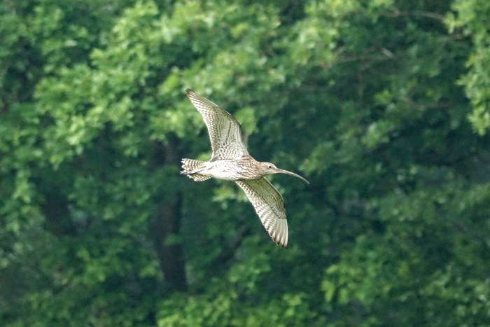 GY_2016_05_26_Whixall Moss_curlew at whixall moss_RB
