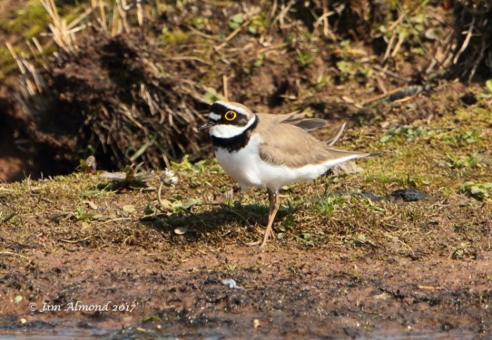 GY_Blog Little Ringed Plover VP 9 4 17 raw edit FA1A6317_JA