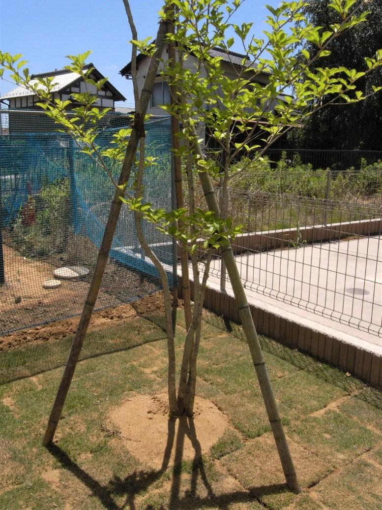 坪庭に植えたアオハダの株立ち