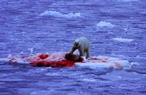 polar_bear_kills_seal