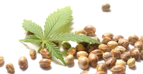cannabis seeds and leaf