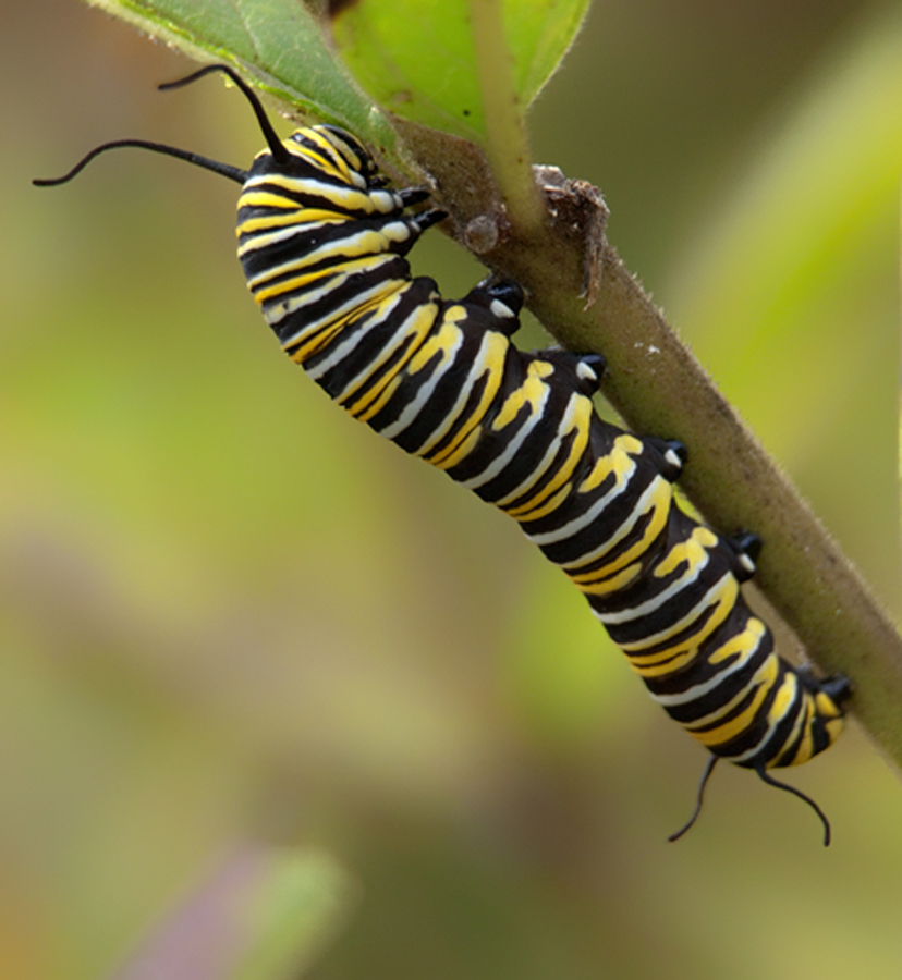 Monarch Butterfly Larva Shutterbug