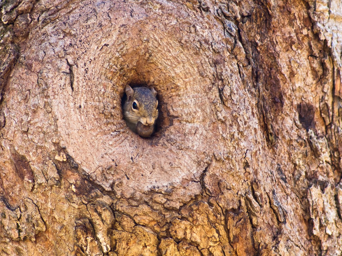 Squirrel Peep Out from a Tree at Montgomery Bell State Park in Dickson County, Tennessee