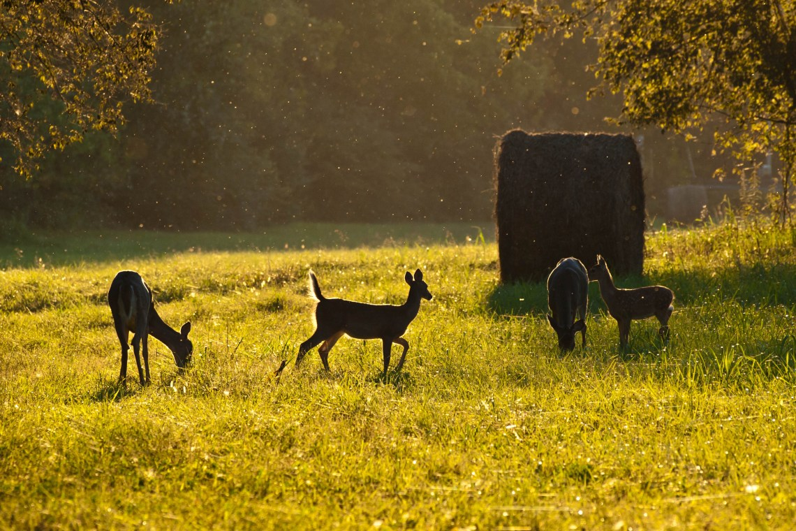 Young Deer Playing in the Sunset Light - Maury County, Tennessee
