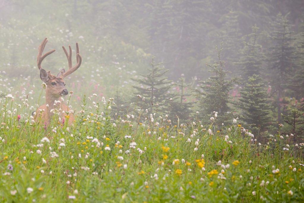 Black-tailed Deer (Washington)