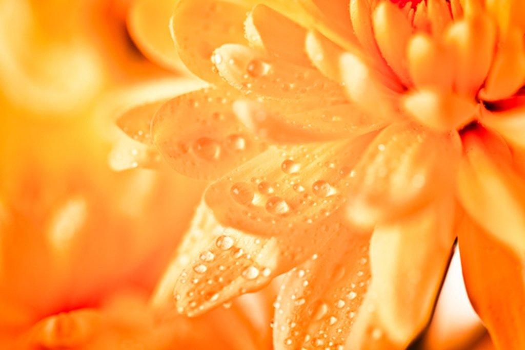 Orange Aster Daisy