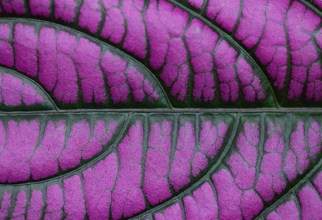 Purple Leaf Closeup