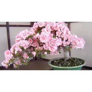 Sightly Cherry Cherry Blossom Bonsai Tree South Africa