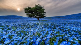 Baby Blue Flower Field of Japan