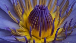 Purple beauty - Water Lily