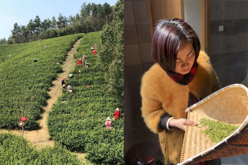Pre-Qingming tea picking in Hangzhou, Zhejiang province, China