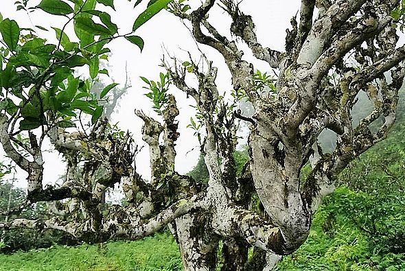 """Ancient """"Thuyet Shan"""" (""""Snow High Mountain"""") tea tree in Ha Giang province, Vietnam"""