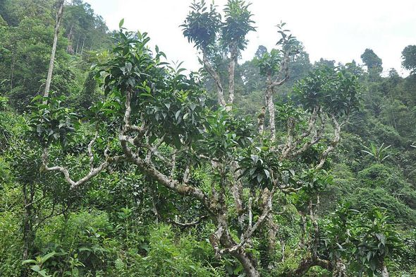 Ancient wild Thuyet Shan tea tree in Ha Giang, Vietnam