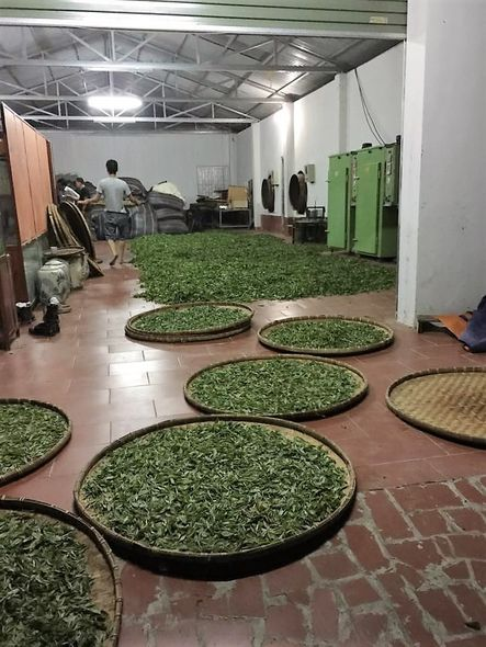 Snow Shan Green Tea processing - withering of freshly picked tea leaves distributed on large round bamboo tray