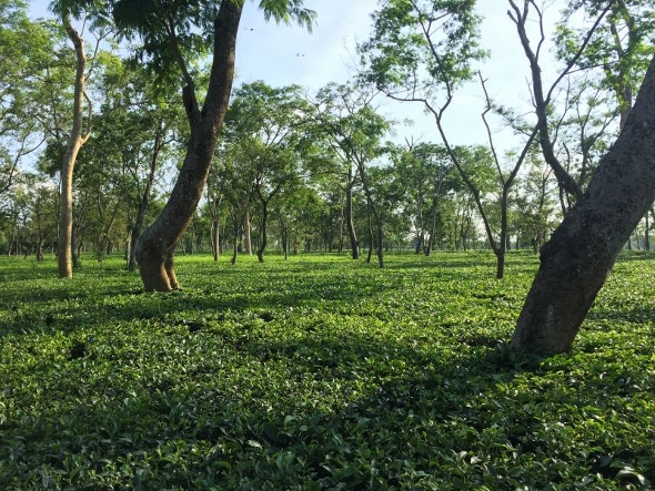 Health and environment-friendly tea farming at Doke Tea Garden, Bihar, India