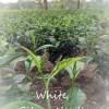 Doke Silver Needle Pure Buds White Tea from Doke Tea Garden, Bihar, India