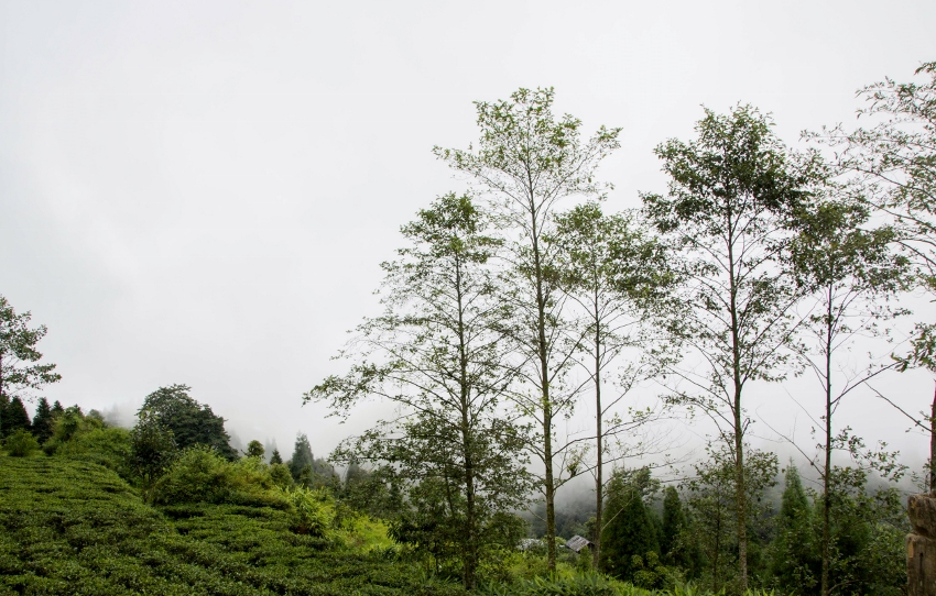 Makaibari Tea Estate, Darjeeling, northeast India