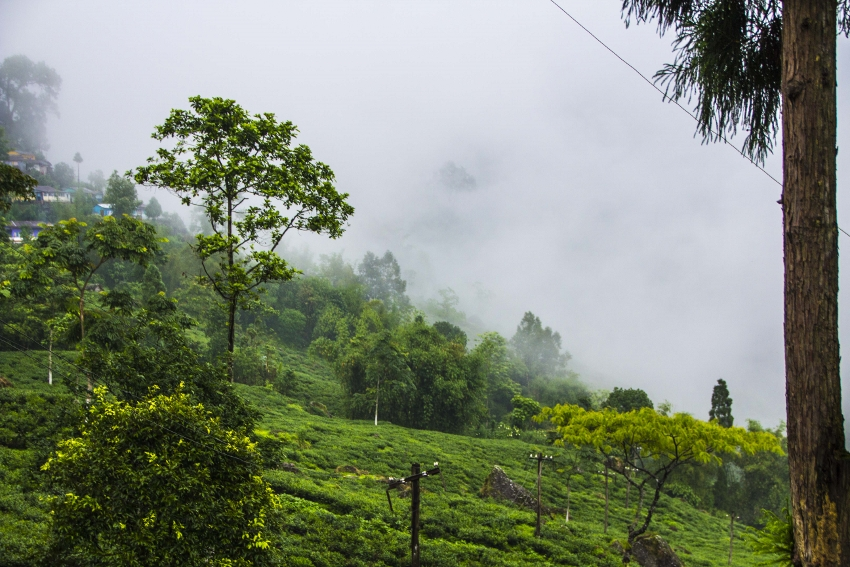 Goomtee Tea Garden, Darjeeling, India