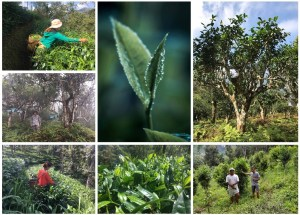 Biodiversi-TEA : Tea from forest- and climate-friendly cultivation
