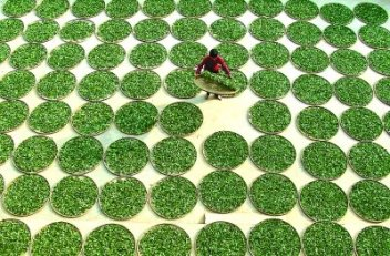 Sun-drying of Tie Kuan Yin tea leaves in Anxi, Fujian, China