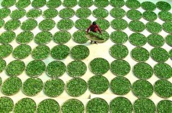 Sun-drying of Tie Kuan Yin tea leaves in Anxi, Fujian, China
