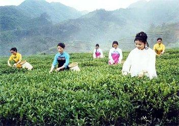Chinese women harvesting Tie Guan Yin in Anxi, Fujian, China
