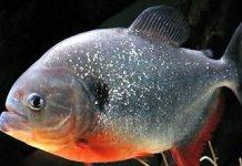 Geliat Memikat Usaha Budidaya Ikan Bawal, Bisnis Yang Sangat Menguntungkan