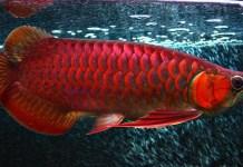 Menapak Sukses Dengan Budidaya Ikan Arwana Super Red