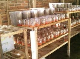 Cara Budidaya Ternak Semut Rangrang Kroto Media Toples Rumahan