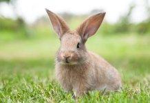 Ciri kelinci mau melahirkan