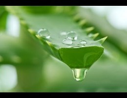 Cfare ndodh nese pini lengun nga bima Aloe Vera. Shendet
