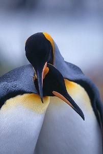 Pinguinet propozojne me mire se humanet menyra sesi