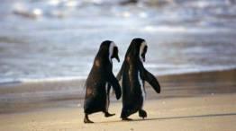Kuriozitete : Pinguinet propozojne me mire se qeniet njerezore.