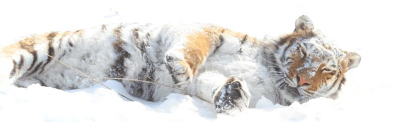 amur tiger kassandra