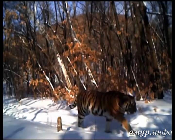президентская тигрица в заповеднике
